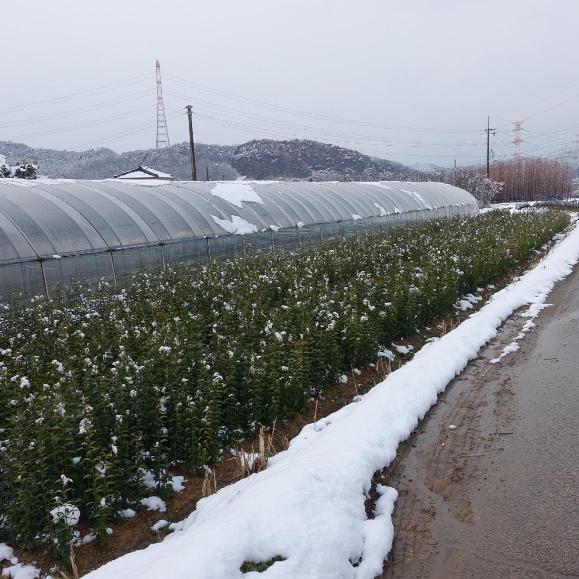 광나무 겨울모습