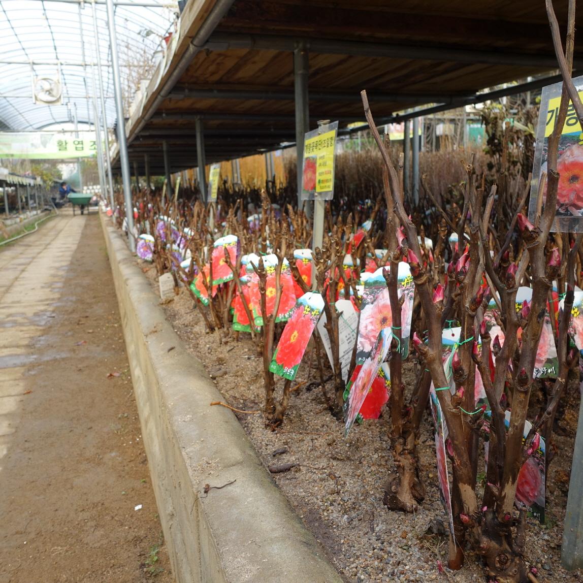 개량꽃목단 가식 모습